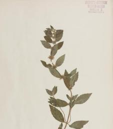Mentha × acutifolia Sm.