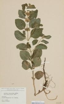 Mentha palustris Moench var. ovalifolia Opiz