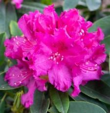 Rhododendron 'Delila'