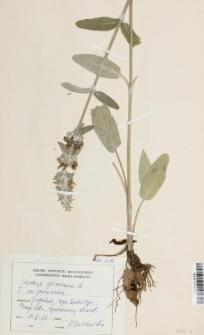 Stachys germanica L.