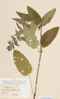 Stachys alpina L.