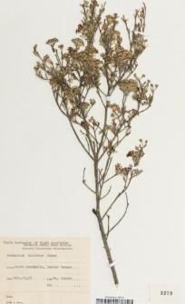 Phebalium bullatum J.M.Black
