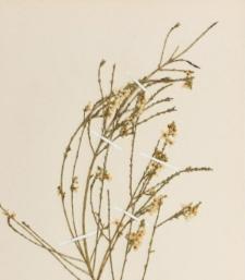 Boronia coerulescens F.Muell.