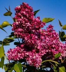 Syringa vulgaris 'Utro Rossii'
