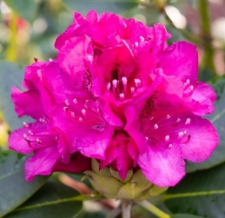 Rhododendron 'Figaro'