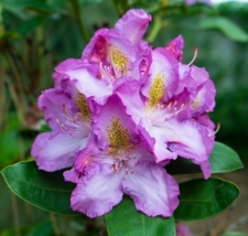 Rhododendron 'Flamme'