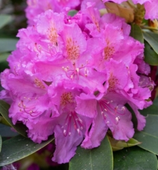 Rhododendron 'Frau von Wolffersdorff'