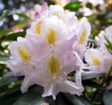 Rhododendron 'Herme'