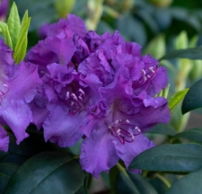 Rhododendron 'Markgraf'