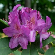 Rhododendron 'Moses'