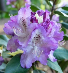 Rhododendron 'Ortrud'