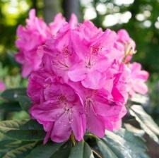 Rhododendron 'Parkfreude'