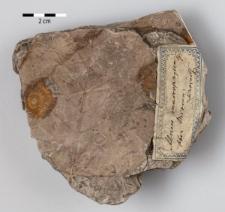 Alnus cecropiaefolia (Ett.) Berger