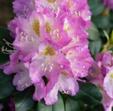 Rhododendron 'Pindar'