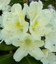Rhododendron 'Seidel Nr. 100'