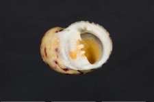 Nerita peloronta
