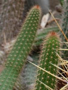 Cleistocactus samaipatanus (Cárdenas) D.R. Hunt