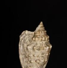 Strombus auris dianae