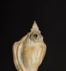 Strombus columba