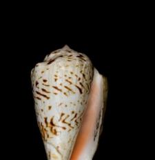 Strombus mauritianus
