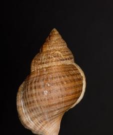 Ranella vexillum