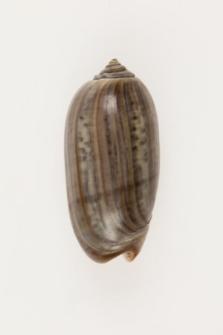 Oliva ispidula