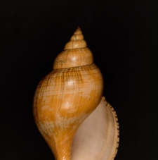 Fasciolaria tulipa