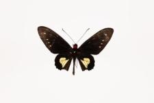 Parides chabrias (Hewitson, 1852)