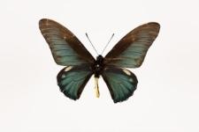 Battus lycidas (Cramer, 1777)