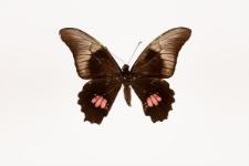 Papilio anchisiades capys Hübner, 1809
