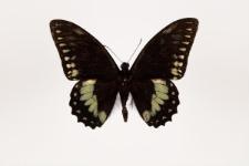 Papilio birchallii Hewitson, 1863