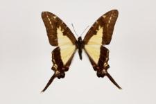 Protographium dioxippus (Hewitson, 1856)