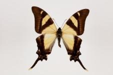 Eurytides columbus (Kollar, 1850)