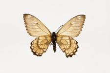 Euryades corethrus (Boisduval, 1836)