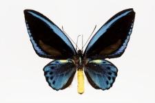 Troides priamus urvillianus (Guérin-Méneville, 1830)