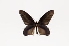 Atrophaneura varuna astorion (Westwood, 1842)
