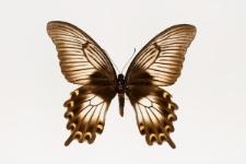 Papilio ascalaphus Boisduval, 1836