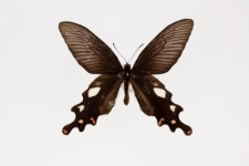 Atrophaneura dasarada (Moore, 1857)