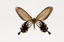Atrophaneura coon (Fabricius, 1793)