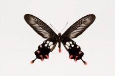 Atrophaneura rhodifer (Butler, 1876)