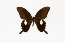 Papilio helenus fortunius Fruhstorfer, 1908