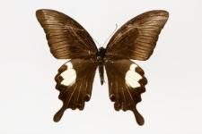 Papilio sataspes C.& R. Felder, 1865