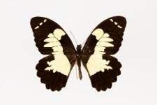 Papilio euchenor Guérin-Méneville, 1829