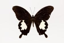 Papilio nephelus uranus Weymer, 1885