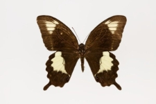 Papilio fuscus ombiranus Rothschild, 1898