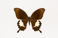 Papilio albinus Wallace, 1865