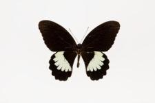 Papilio ambrax Boisduval, 1832