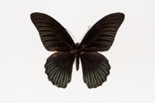 Papilio memnon Linnaeus, 1758