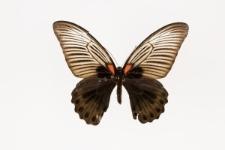 Papilio memnon agenor Linnaeus, 1758
