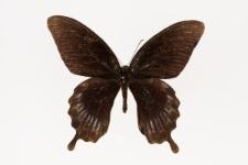 Papilio deiphobus Linnaeus, 1758